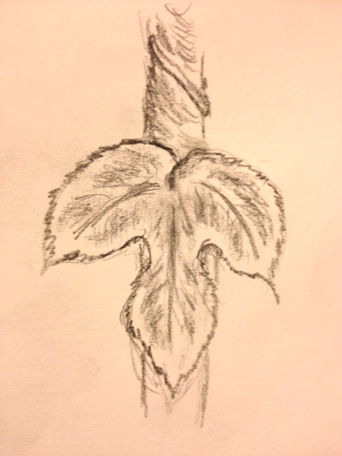 "Eileen Leahy: ""Leaf from a Climbing Hop,"" pencil"