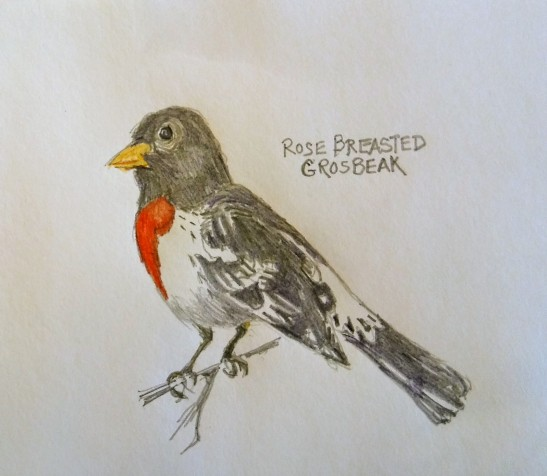 Linda Norton Rose breasted grosbeak colored pencil