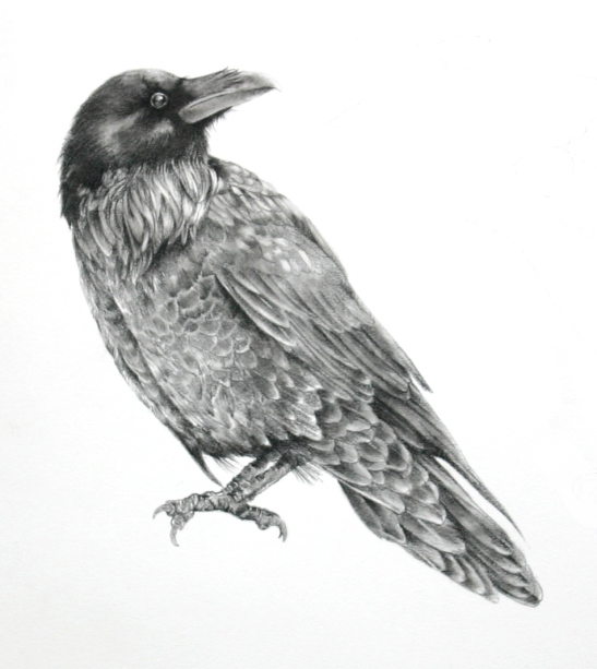 Ellen Cornett Untitled Blackbird carbon pencil