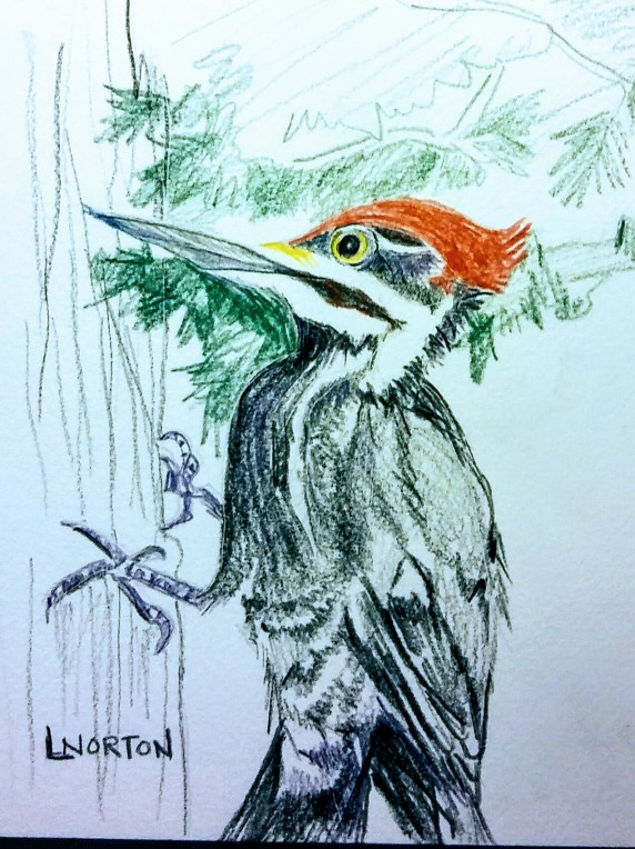 Linda NOrton Pileated woodpecker colored pencil