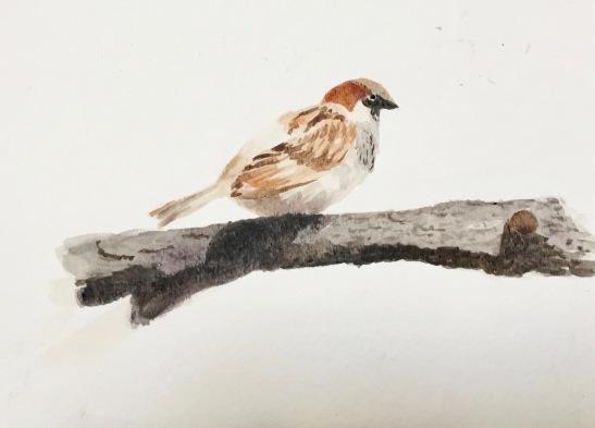 Marian sparrow