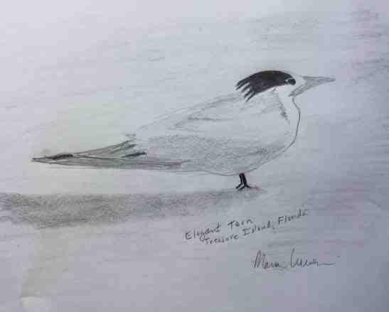 2018 03 Mar Elegant Tern