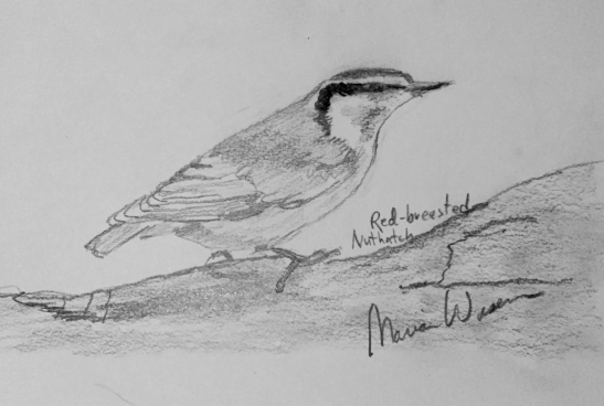 Marian Wiseman Red-Breasted Nuthatch