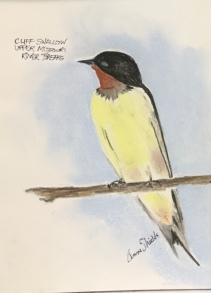 Anne Shields: Cliff Swallow, Upper Missouri River Breaks. Pastel.