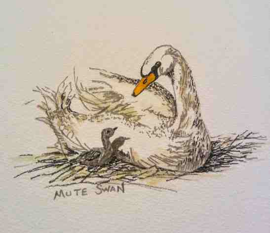 Linda Norton Mute Swan and Cignet